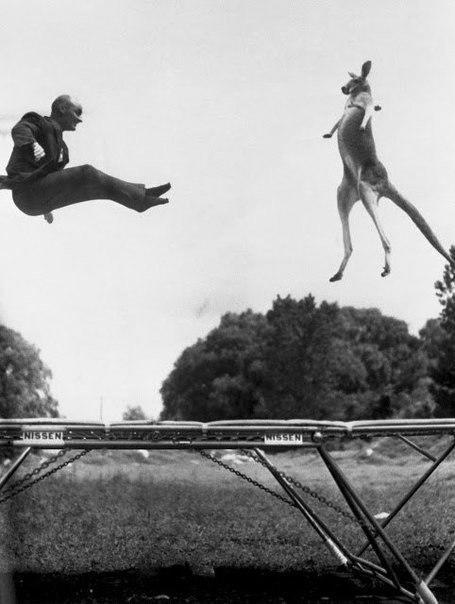 Мужчина и кенгуру прыгают на батуте