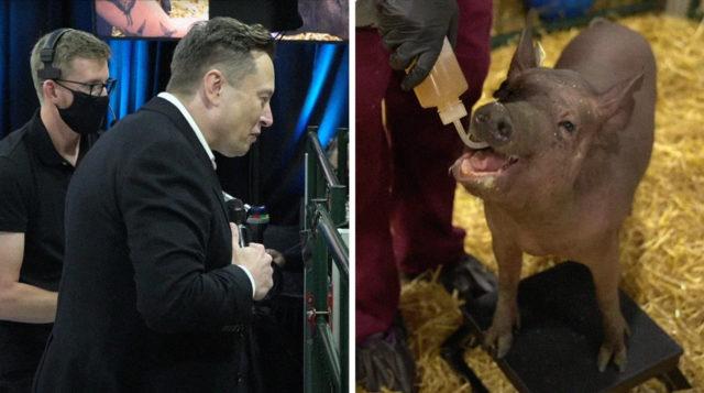 Илон Маск и чипированная свинья