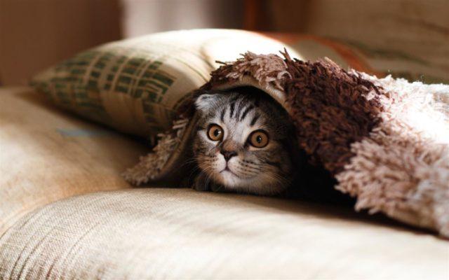 Кошка выглядывает из-под одеяла