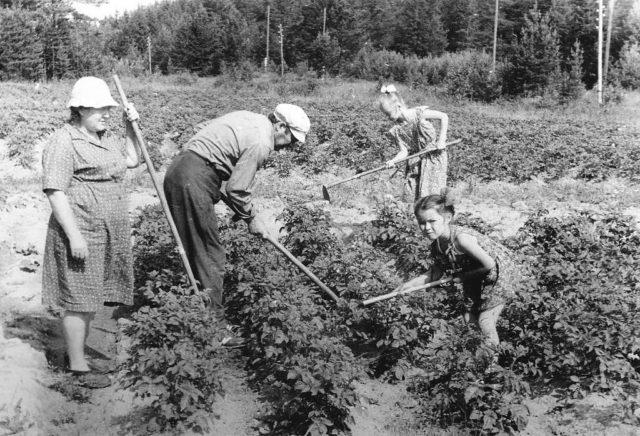Советские дачники возделывают грядки