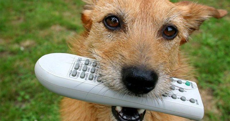 Собака с пультом ДУ в зубах
