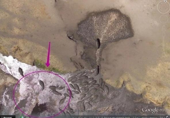 Снимок в Google Maps бегемоты у водопоя